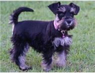 Miniature Schnauzer puppies for sale (4x Males)