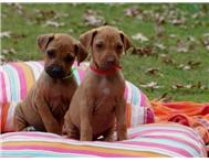 Most beautiful Rhodesian Ridgeback pure bred puppies 7 weeks old!!!