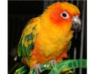 missing sunconure