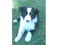 Beautiful Border Collie puppies for sale Only 2 left.