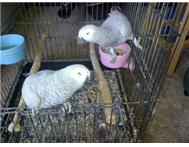 TWO CONGO RED TAIL AFRICAN GREY 8 Y... Johannesburg
