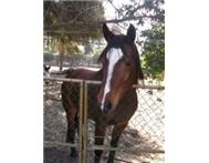 Arab Gelding for Sale