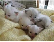 Ragdoll Kittens For Sale Pretoria