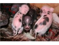 MICRO MINI PET PIGS FOR SALE