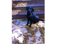 2xLabrador Dogs (Male) West Rand
