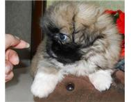 Purebred pekingese puppies for sale.