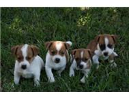 Male & Female Purebred Jack Russell Terrier in Dogs & Puppies For Sale Gauteng Pretoria - South Africa