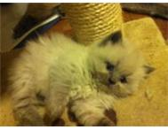 MALE PUREBRED BLUE POINT HIMALAYAN KITTEN