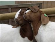 Boer Goat Goats in Farm Animals For Sale Limpopo Modjadjiskloof - South Africa