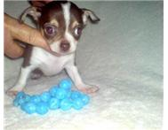 CHIHUAHUA PUPPIES for sale - cape w...