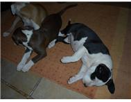 American Staffordshire Terrier ( AMSTAFF ) For Sale