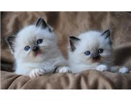 Ragdoll kittens. Blue eye gentle humble creatures