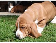 European Basset Hound Puppies