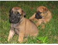 Adorable Bull mastiff Puppies