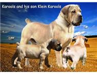 Male Pedigree Boerboel in Dogs & Puppies For Sale Western Cape Dana Bay - South Africa