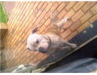 I have two regestered american bull...