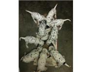 Dalmatian puppies available for sale.