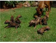 HEAVENLY PEDIGREE RHODESIAN RIDGEBACK PUPS FOR SALE...