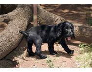 Male & Female Purebred English Cocker Spaniel in Dogs & Puppies For Sale Gauteng Randburg - South Africa