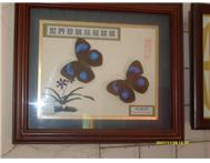 butterfly specimen craft frames