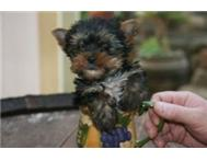 Tea Cup Yorkie Puppy from Registred Breeder