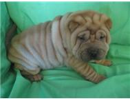 Male & Female Pedigree Chinese Shar-pei in Dogs & Puppies For Sale Gauteng Boksburg - South Africa