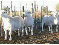 Dorper sheep for sale