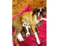 Beautiful Boxer Puppies. Pure bread KUSA champion blood lines Durban