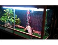 2 Adult Bearded Dragons with Everyt...
