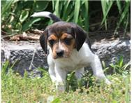 ADORABLE BEAGLE PUPPIES FOR GREAT HOMES