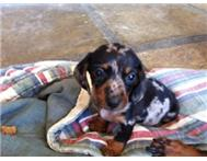 Male & Female Purebred Dachshund in Dogs & Puppies For Sale KwaZulu-Natal Richards Bay - South Africa