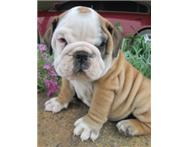 Cute English Bulldog Puppy 7 weeks