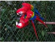 2 Macaw s for sale.. 12 months old.