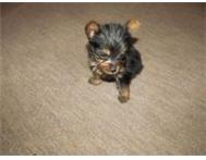 Very tiny Teacup Yorkies! 200grams and only 6 weeks oold! Pretoria Gauteng