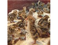 Jumbo Quail Chicks in Birds For Sale Eastern Cape East London - South Africa