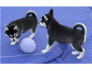 KUSA registered Siberian Husky puppies Available