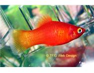 Red Platy s Youngsters