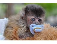 Golden Capuchin Monkey in Monkeys For Sale Limpopo Rust de Winter - South Africa