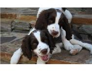 Affection English Springers Puppies