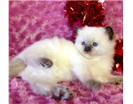 healthy ragdoll kittens for sale