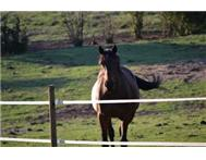Thoroughbred Horses in Farm Animals For Sale KwaZulu-Natal Underberg - South Africa