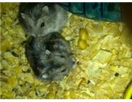 Dwarf hamsters including cage and accessories