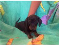 Miniature Dachshund puppies (worsies)