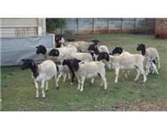 Sheep for sale Delmas