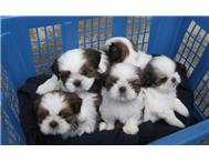 Fabulous! Shih Tzu Puppies