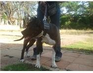Male & Female Pedigree American Pitbull Terriers in Dogs & Puppies For Sale North West Rustenburg - South Africa