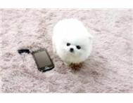 very cute pomeranian puppies for sa...