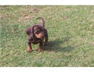 Purebreed miniature dachshunds puppies