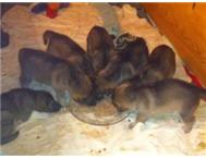 German shepherd puppies for sale R3000