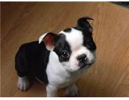 Boston Terrier Puppies for lovely homes
